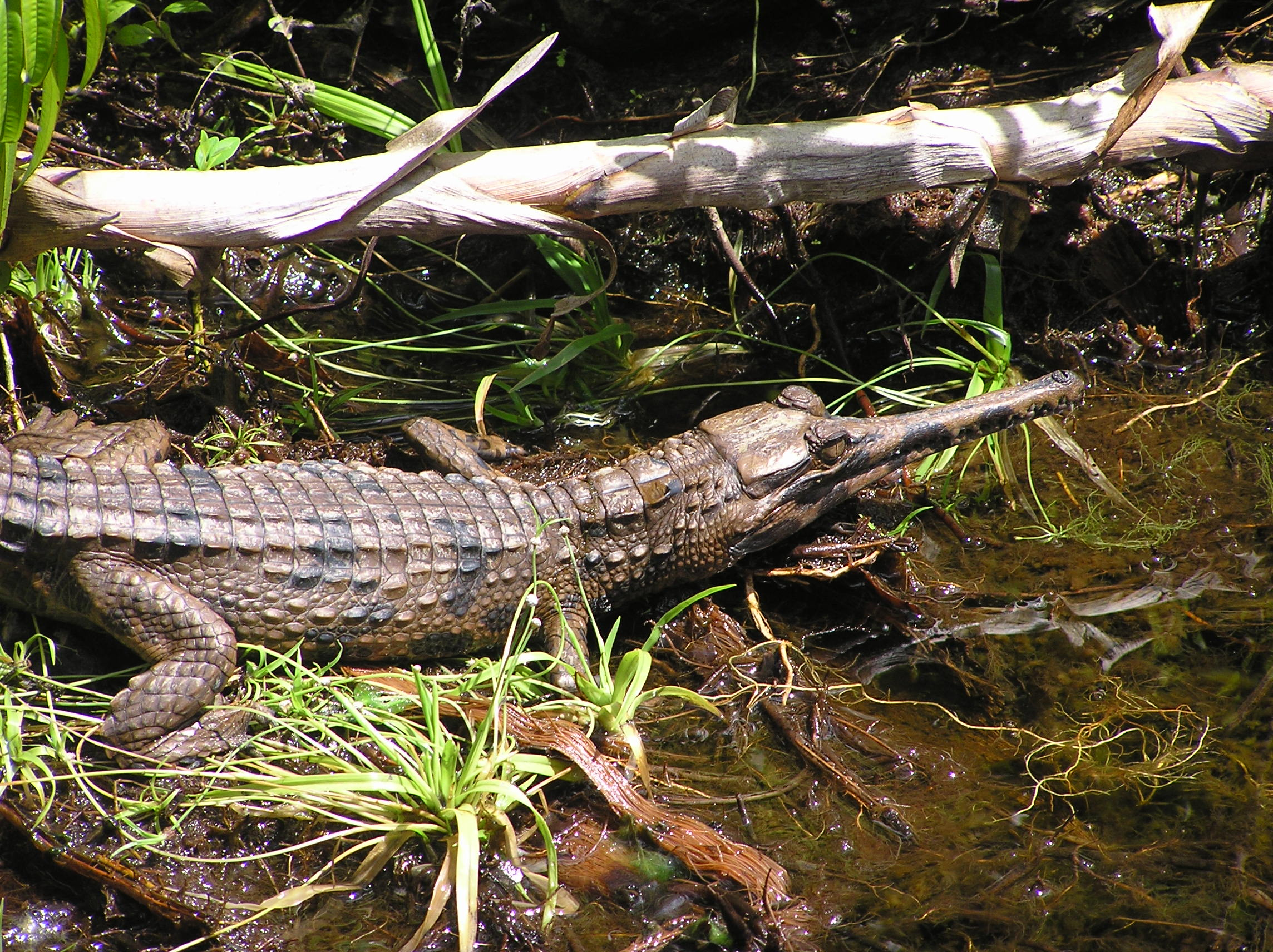 Long Nosed Crocodile 4