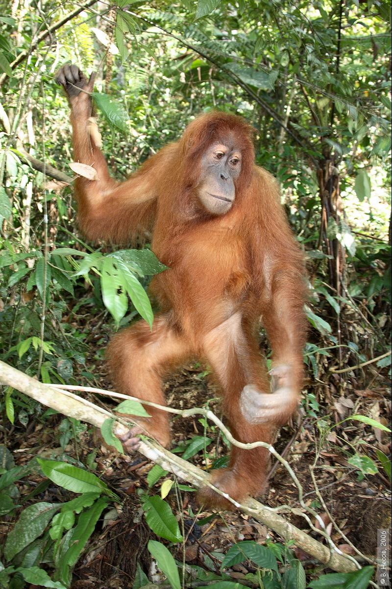 1-174  North Sumatra, NP Gunung Leuser