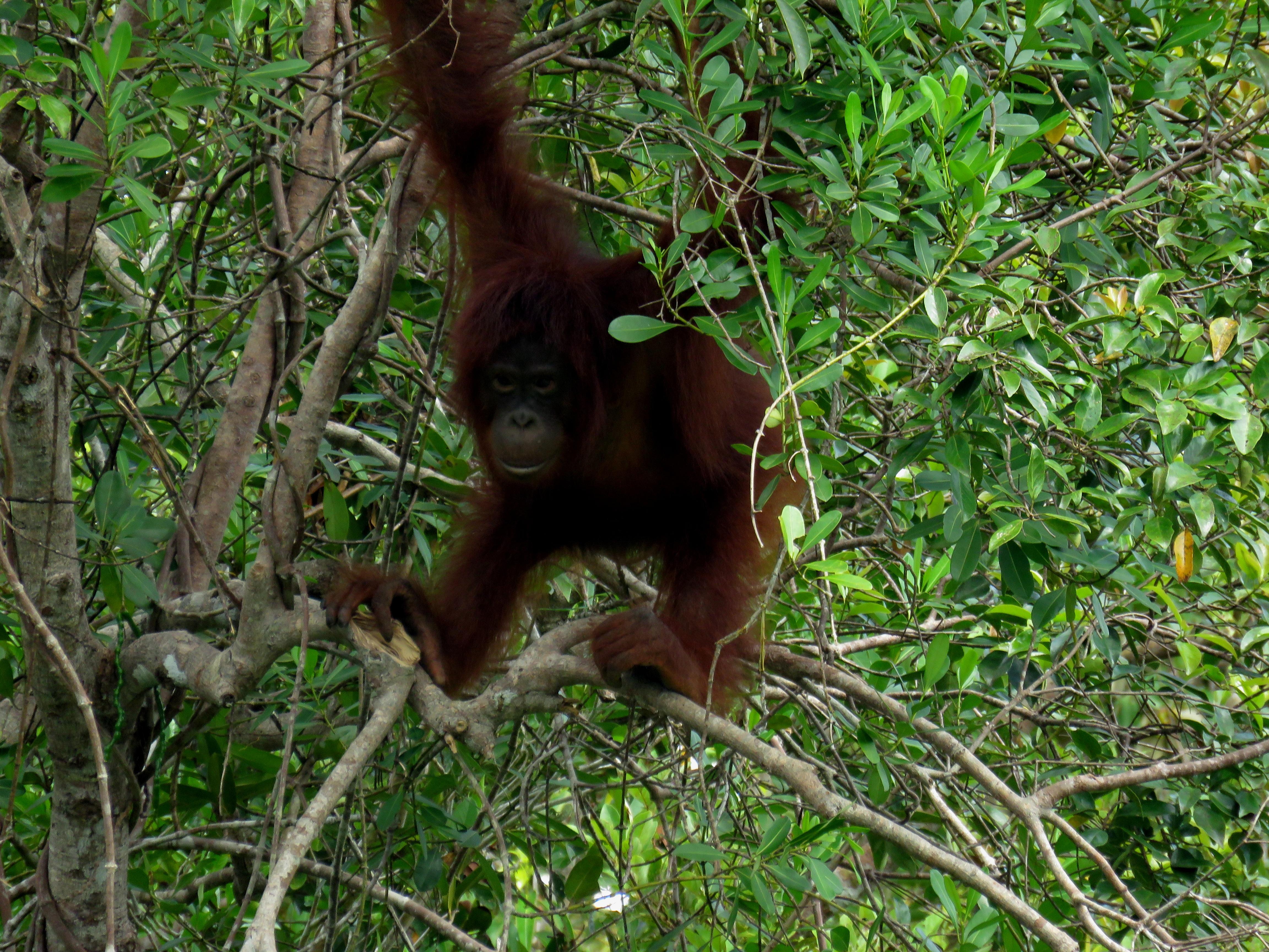Adolescent orangutan1