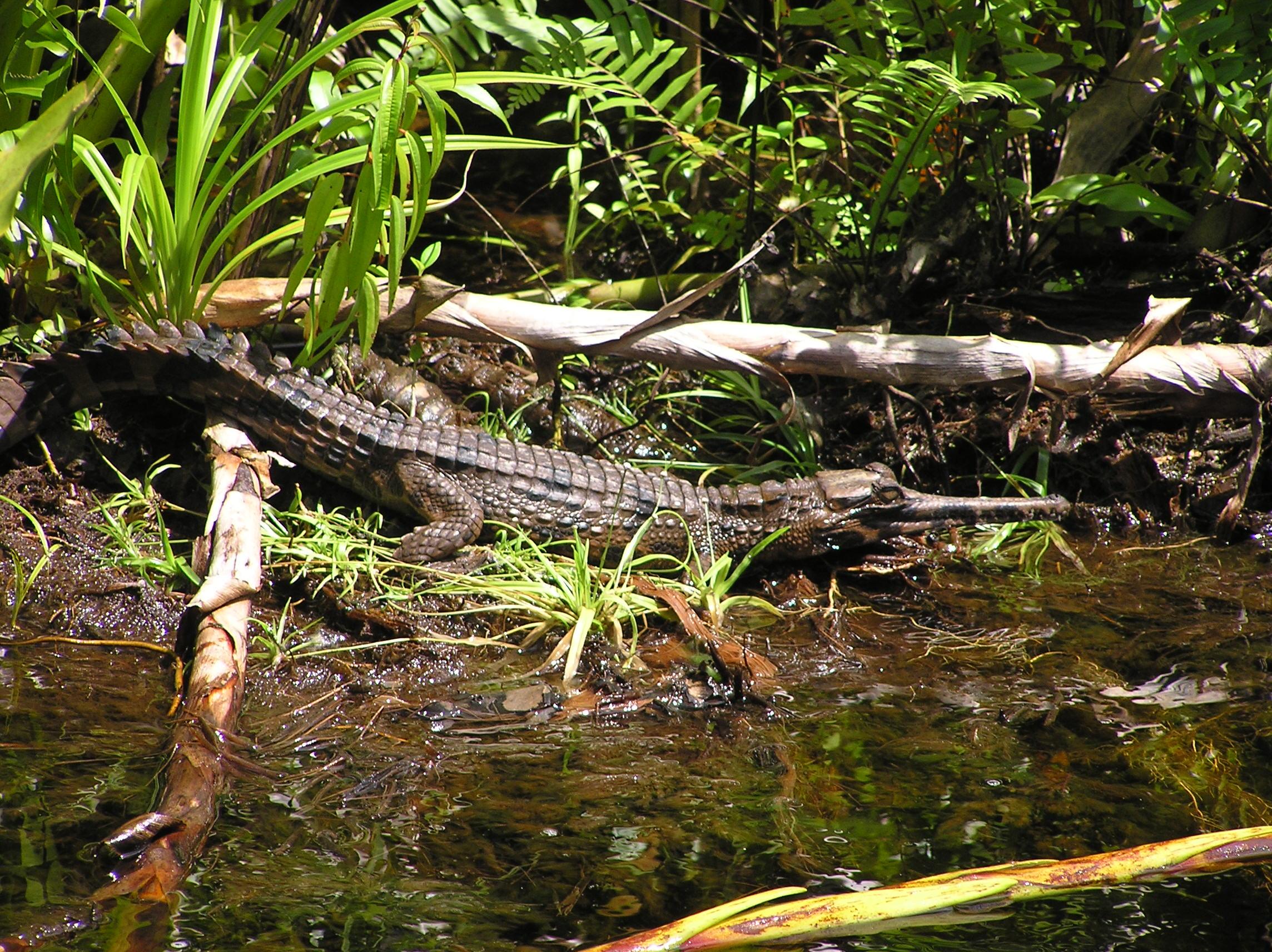 Long Nosed Crocodile