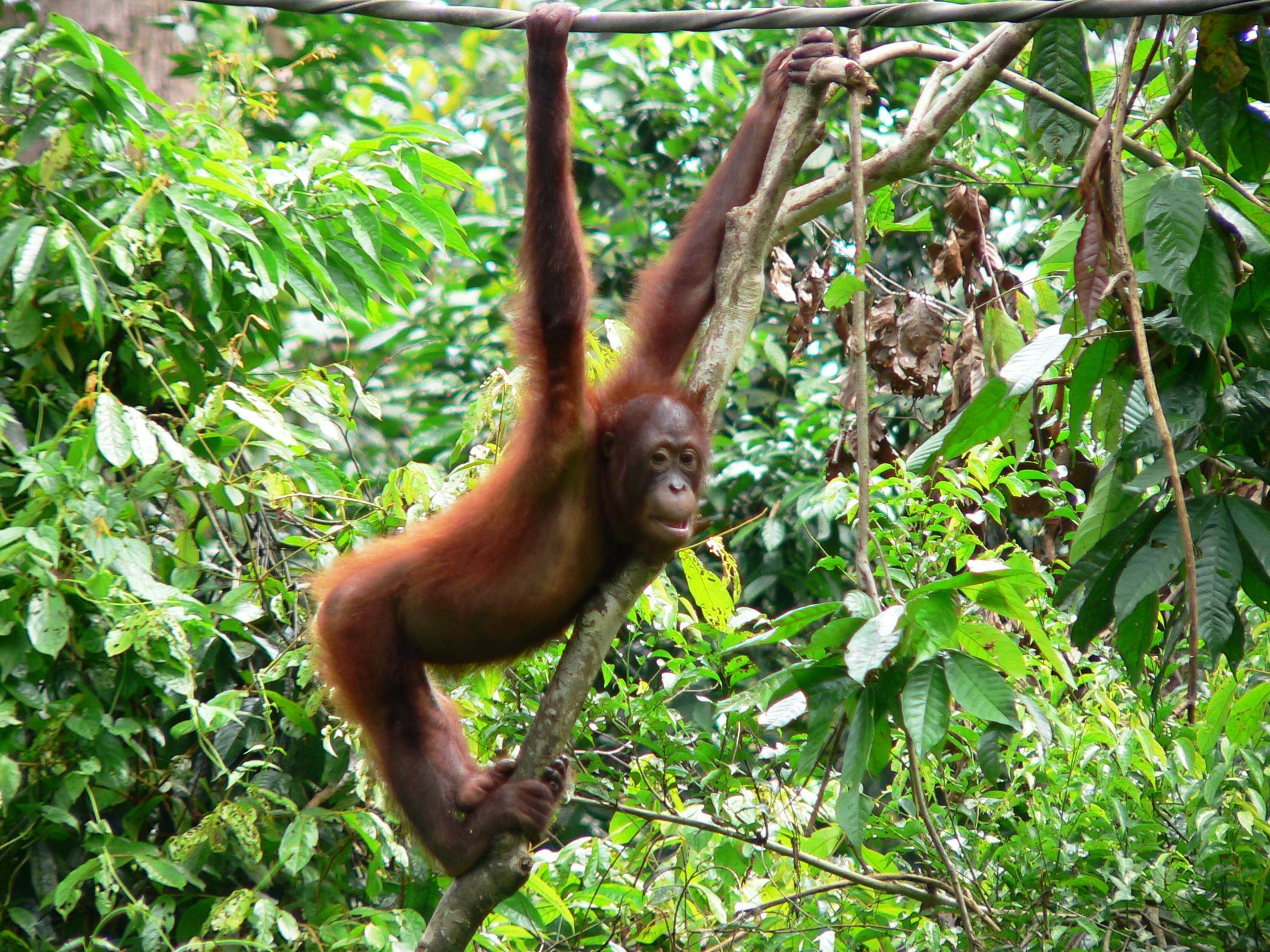 Borneo-orangutan-baby3