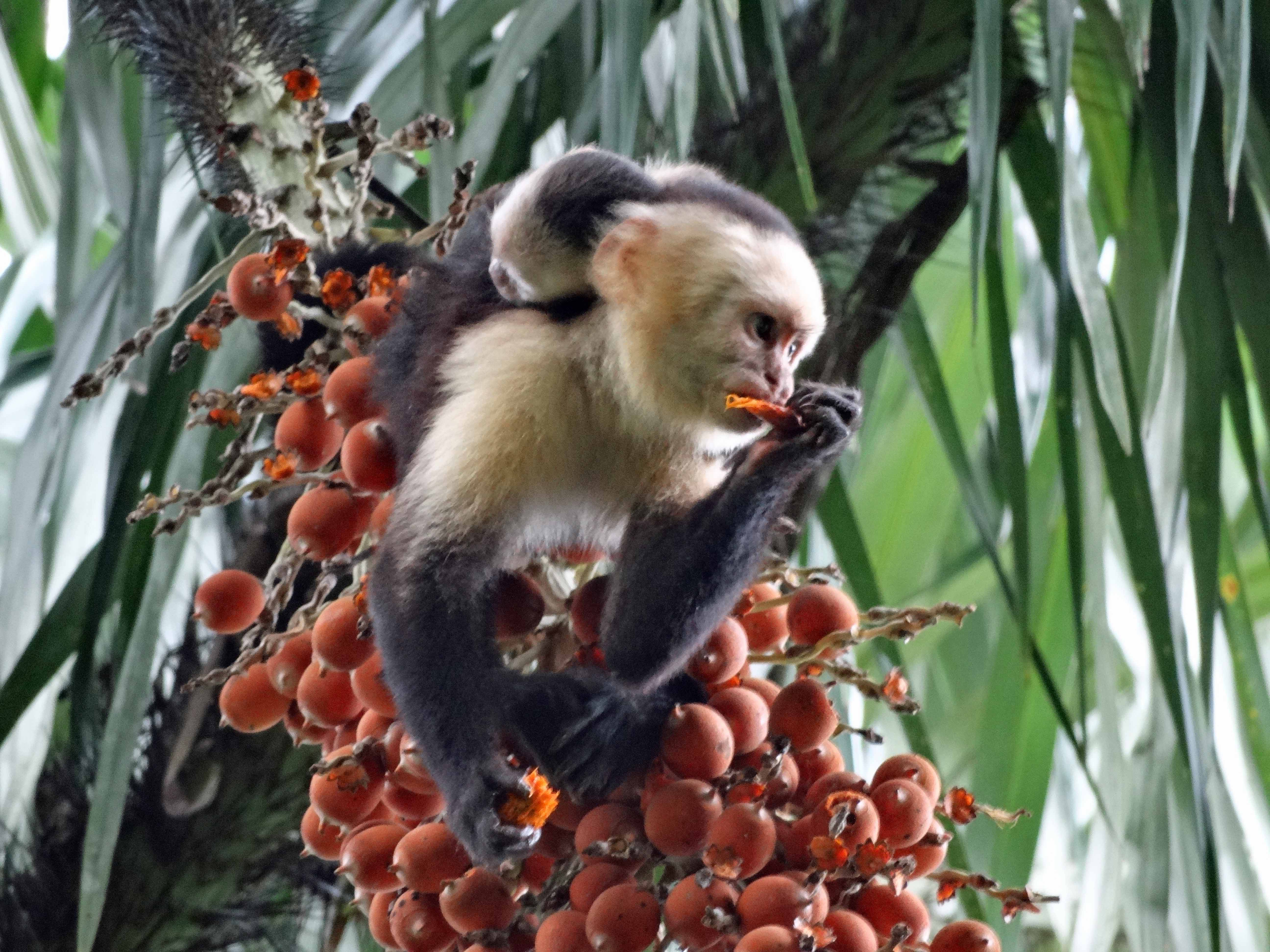 white-faced-monkey-in-manuel-antonio