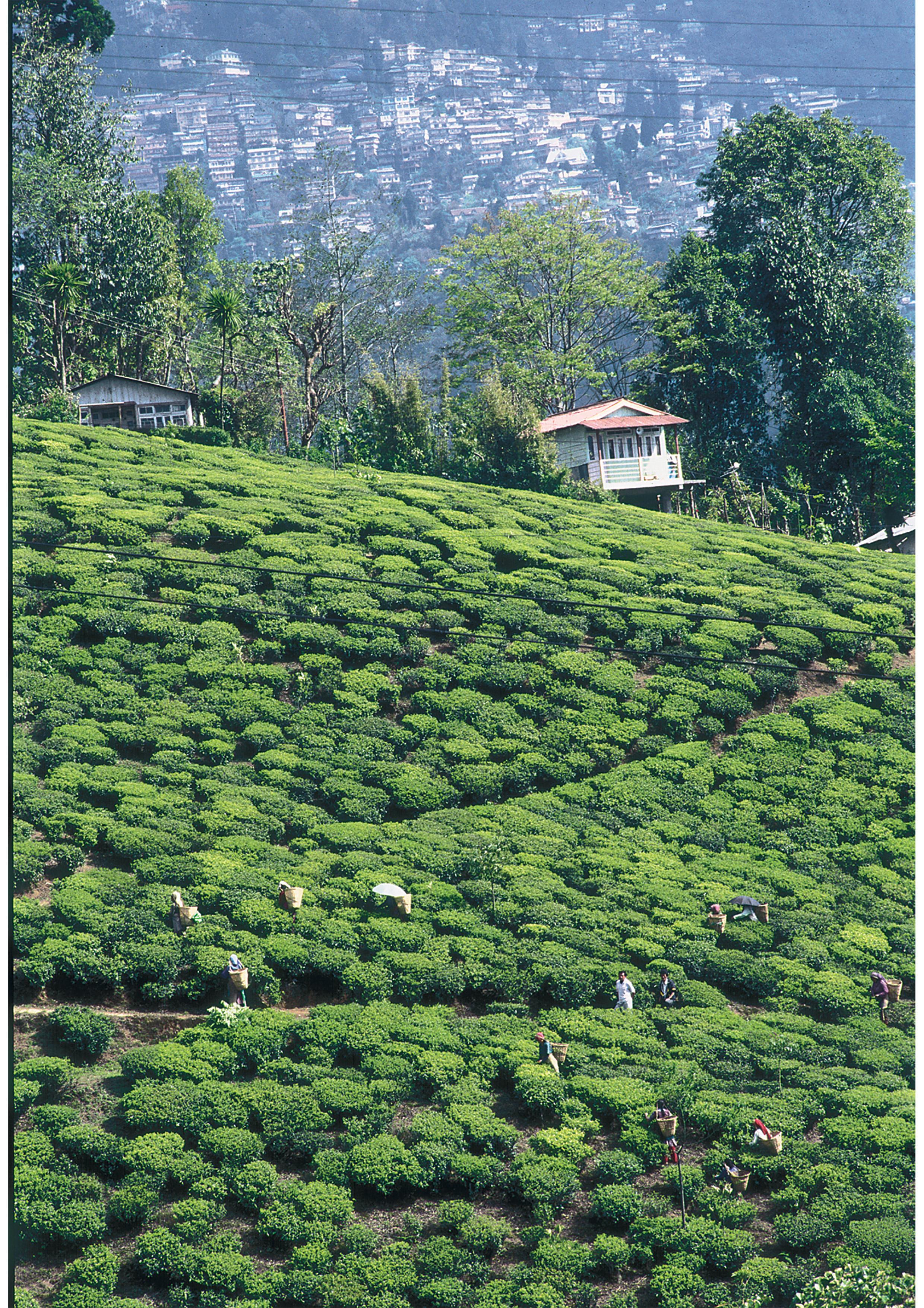 Tea-Garden-and-Town,-Nilgiris