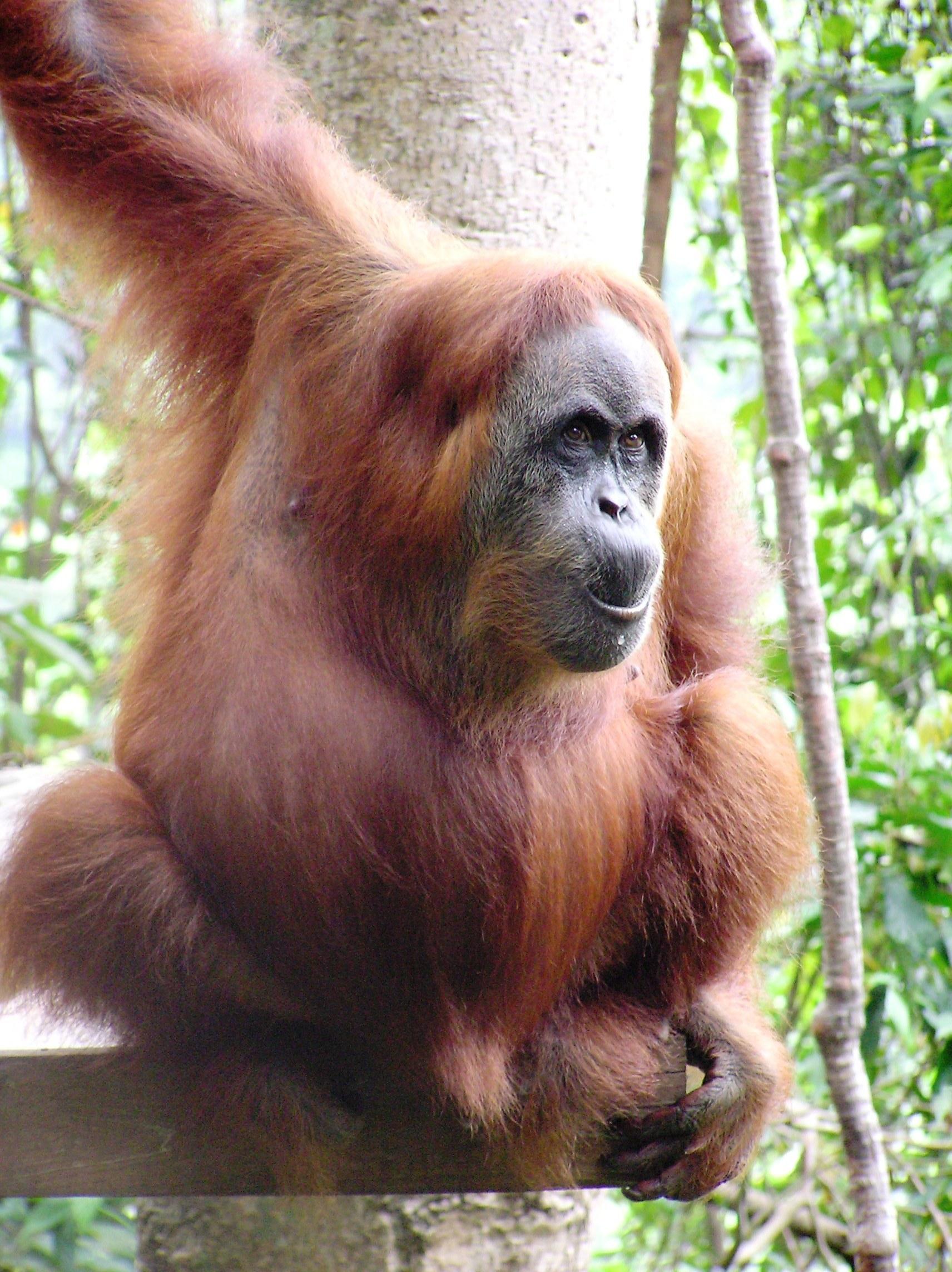 Sumatran Orangutan 1
