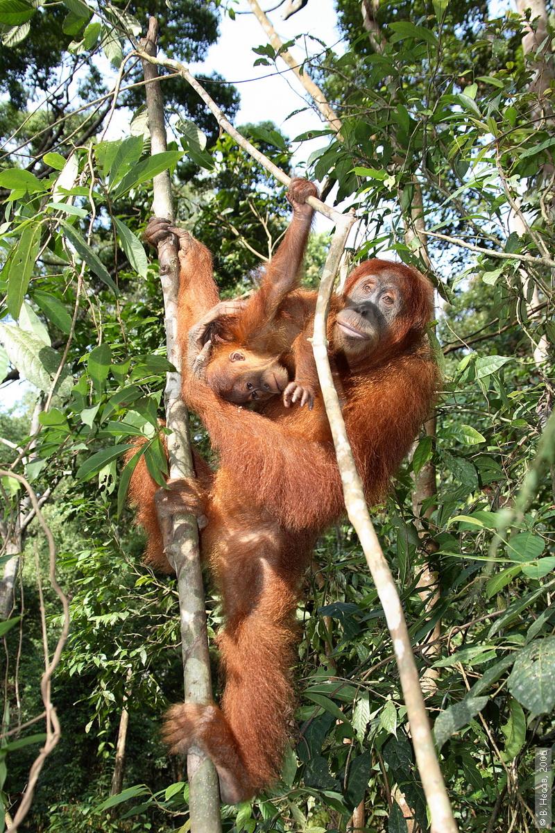 1-195  North Sumatra, NP Gunung Leuser