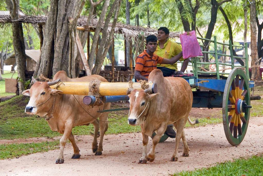 Bullock-cart-at-Habarana, Sri Lanka