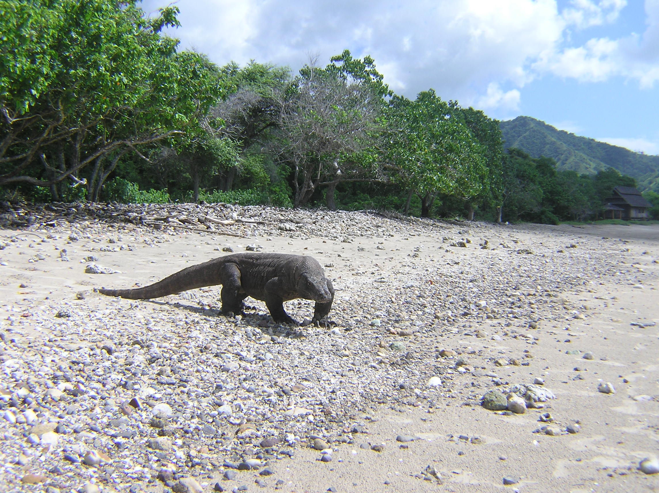 Komodo on the beach - Komodo Island  11
