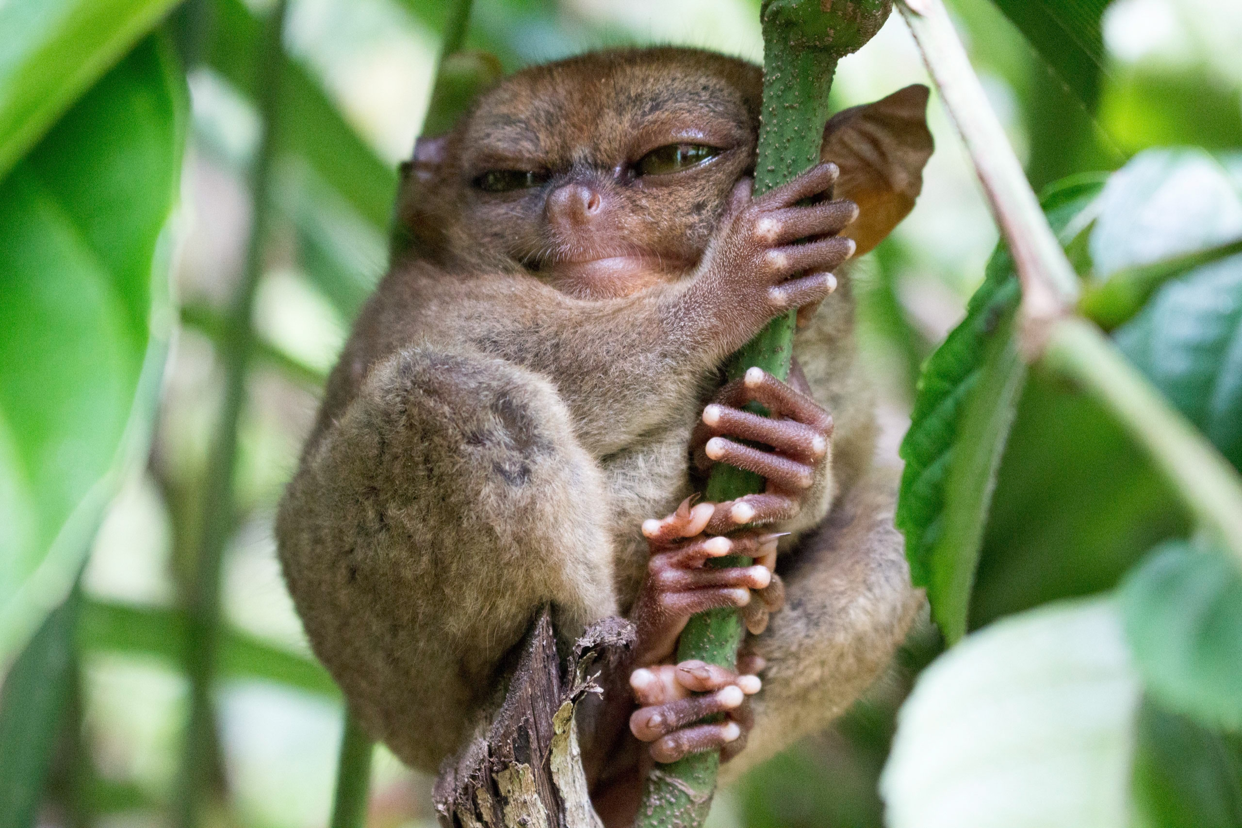 Sleeping Tarsier