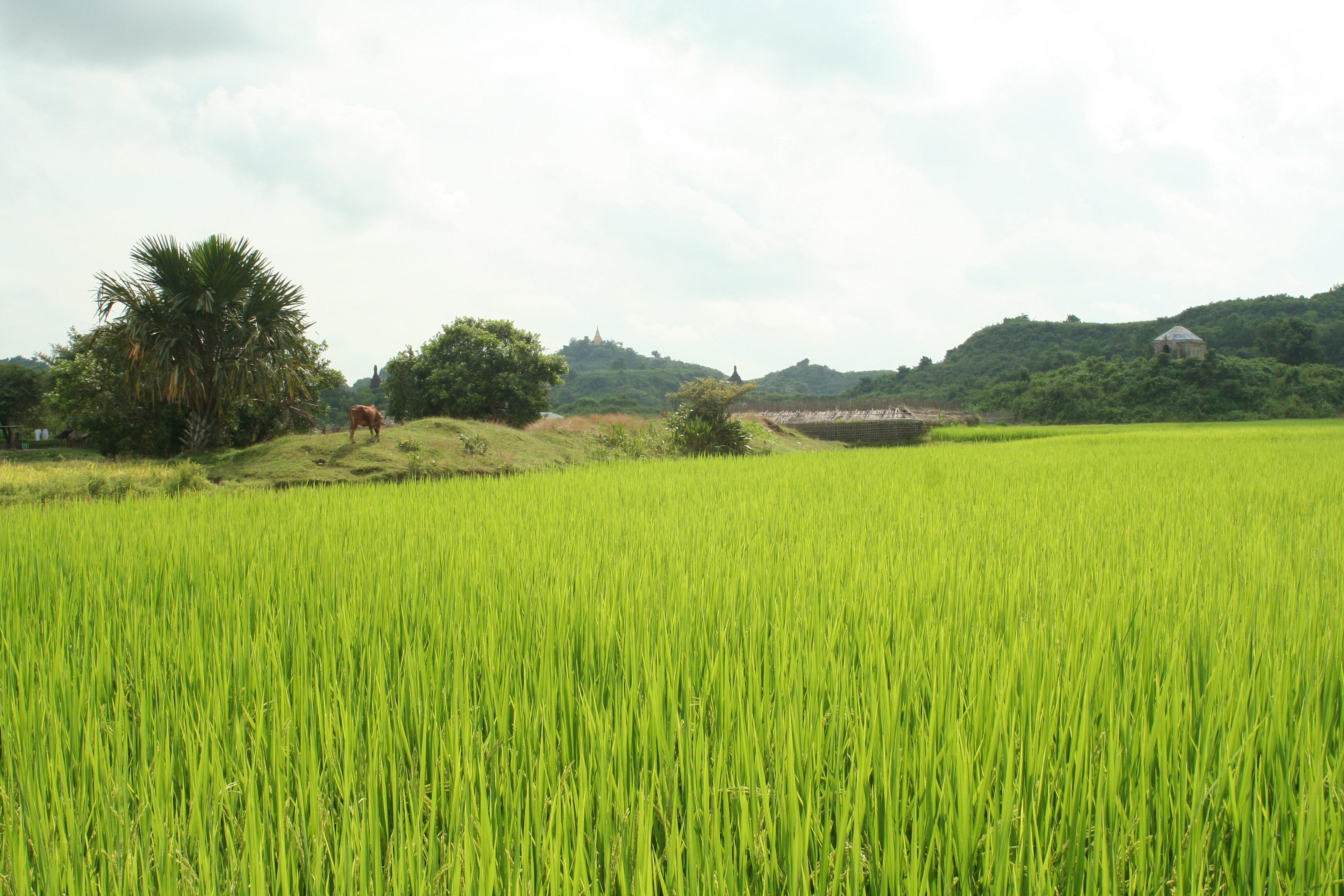 Mrauk U - fields