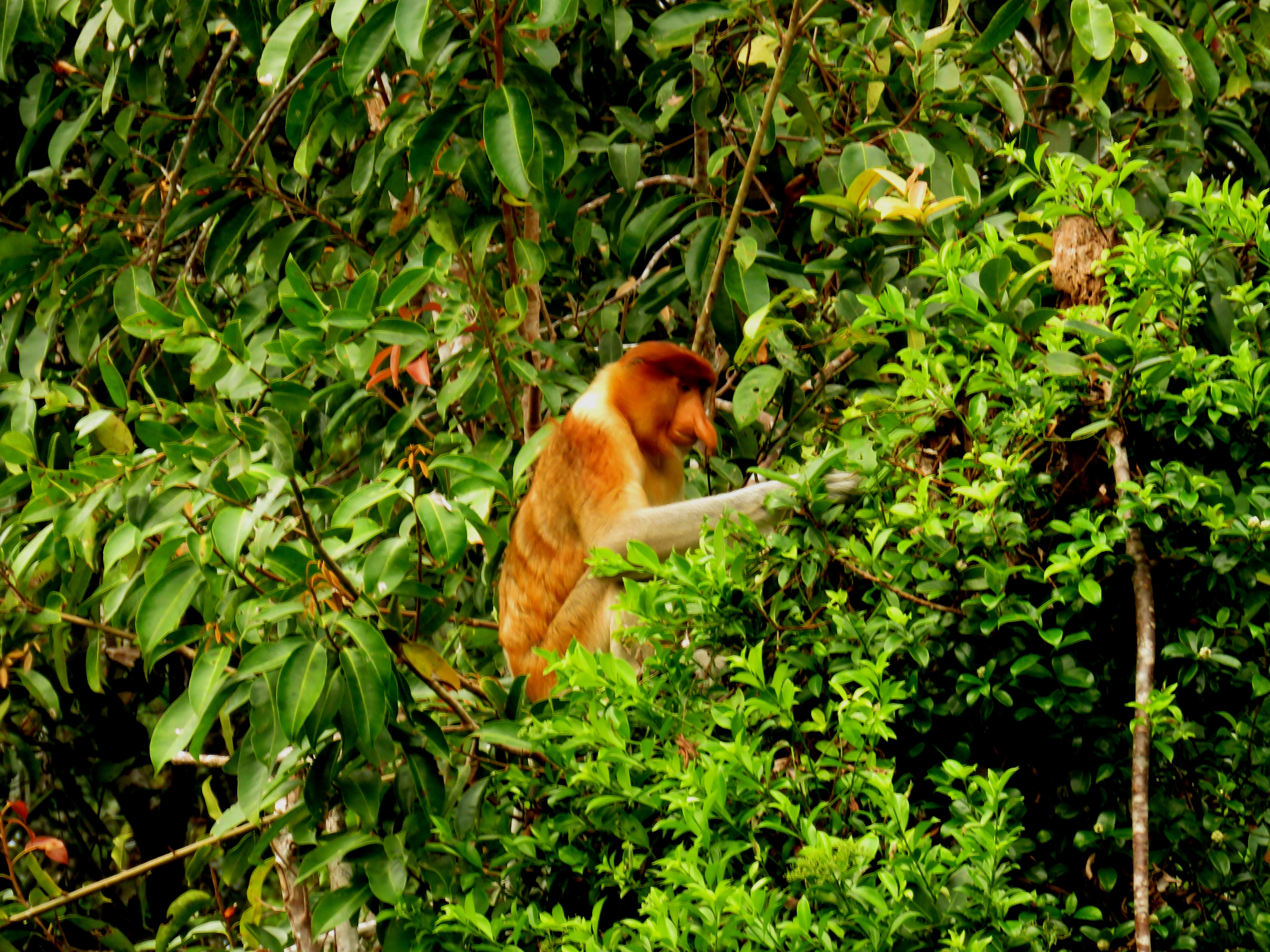 Adult Male Proboscis Monkey3