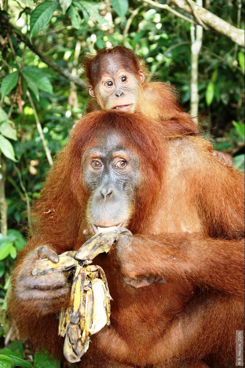 1-192  North Sumatra, NP Gunung Leuser1