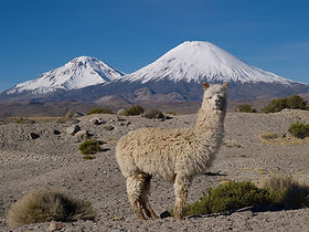 Alpaca Chilean Andes
