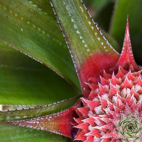 Pretty Pineapple, Bora Bora