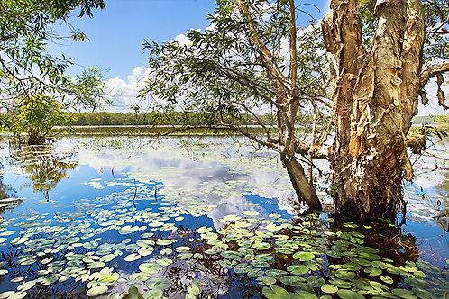 Paperbark & Lillies, Manton Dam, NT