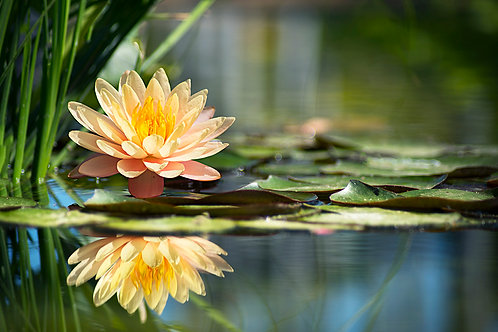 CANVAS PRINT - WATER LILLY - 450 X 300mm