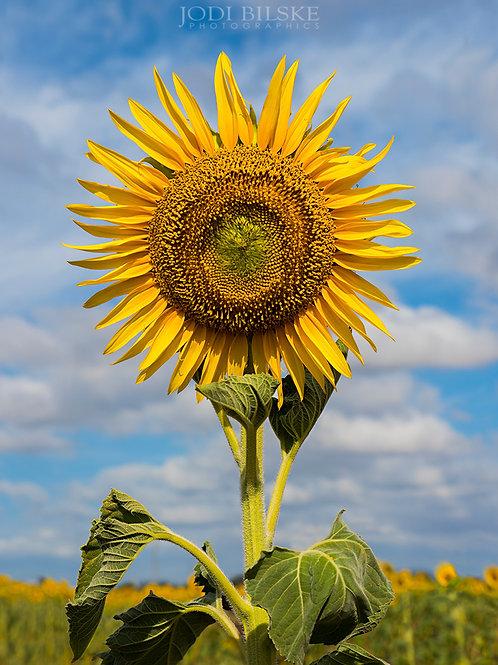 Sunflower, Darling Downs Qld