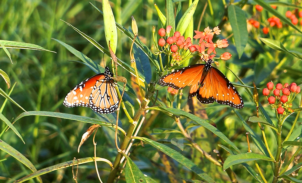 monarch butterflies on colorful wildflowers