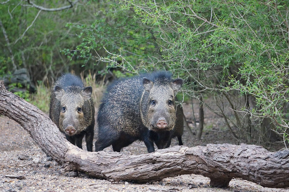 wild javelinas spotted at Camp RIO