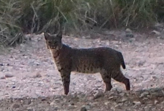 a wild bobcat spotted at Camp RIO