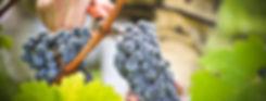 vinograd-grozdya-ruki-nozhnicy.jpg