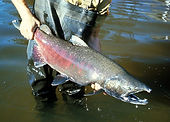 Puget Sound Chinook salmon