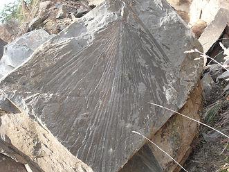 Palm leaf fossil in Chuckanut Sandstone.