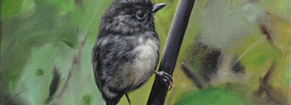 Kapiti Robin
