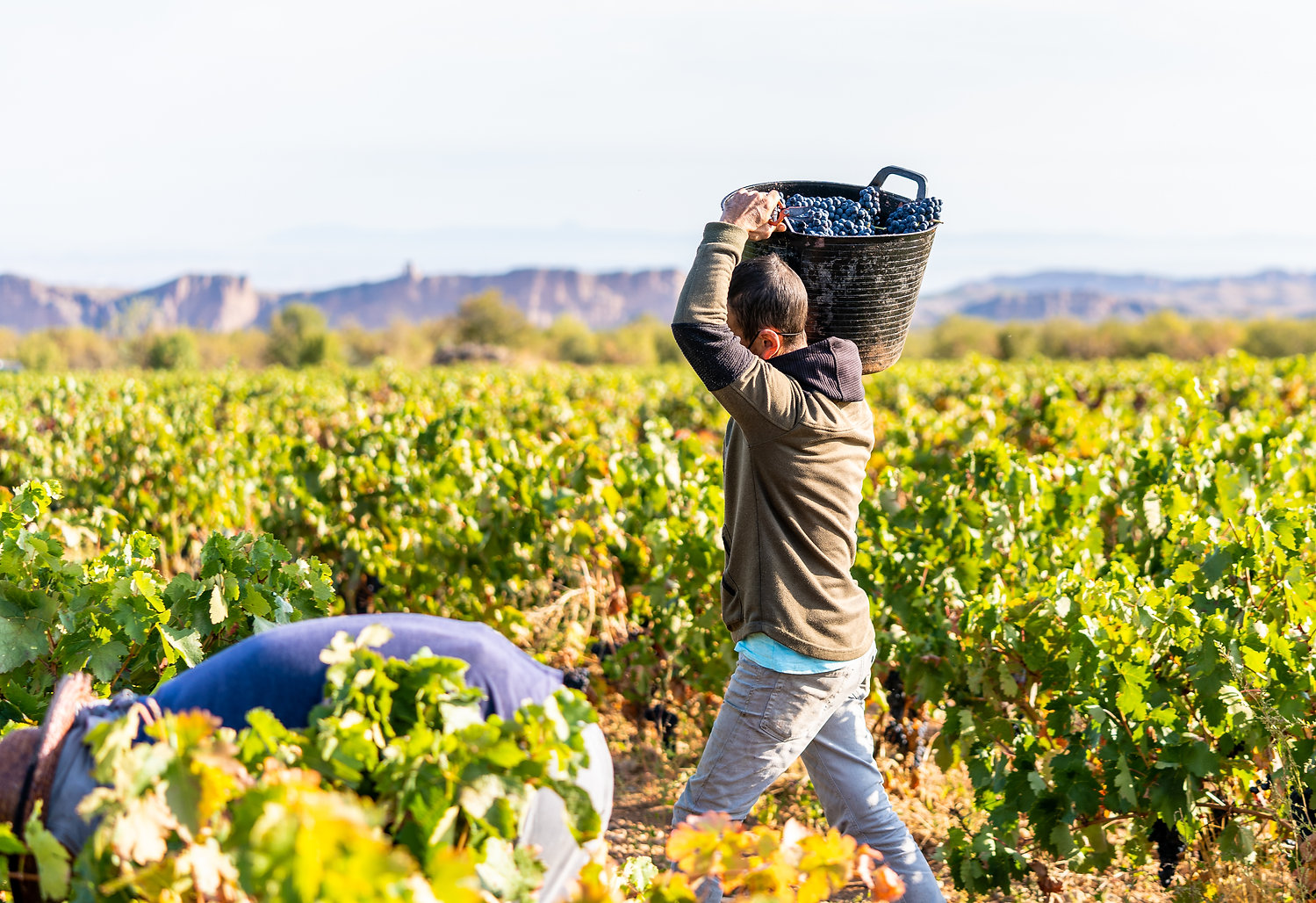 Vines and harvesters with baskets carryi