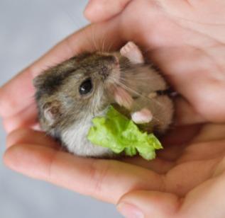 small-fluffy-gray-dzungarian-hamster-eat