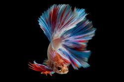 betta-fish_1150-7907