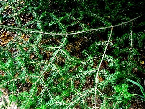 pine branch UP sml.jpg
