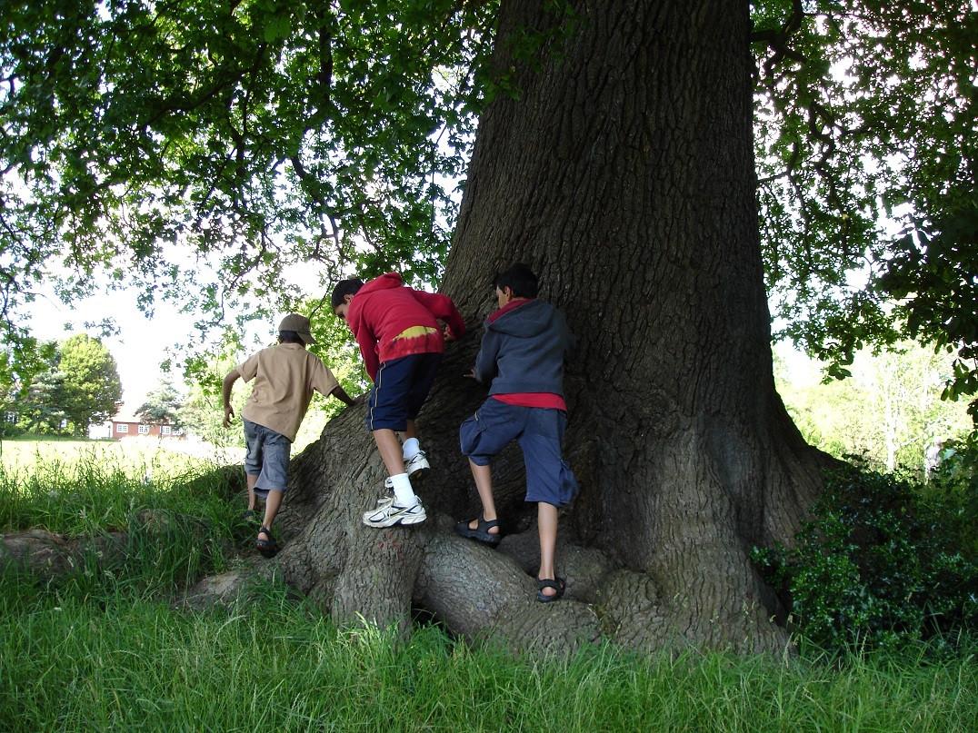 Three boys Oak Tree