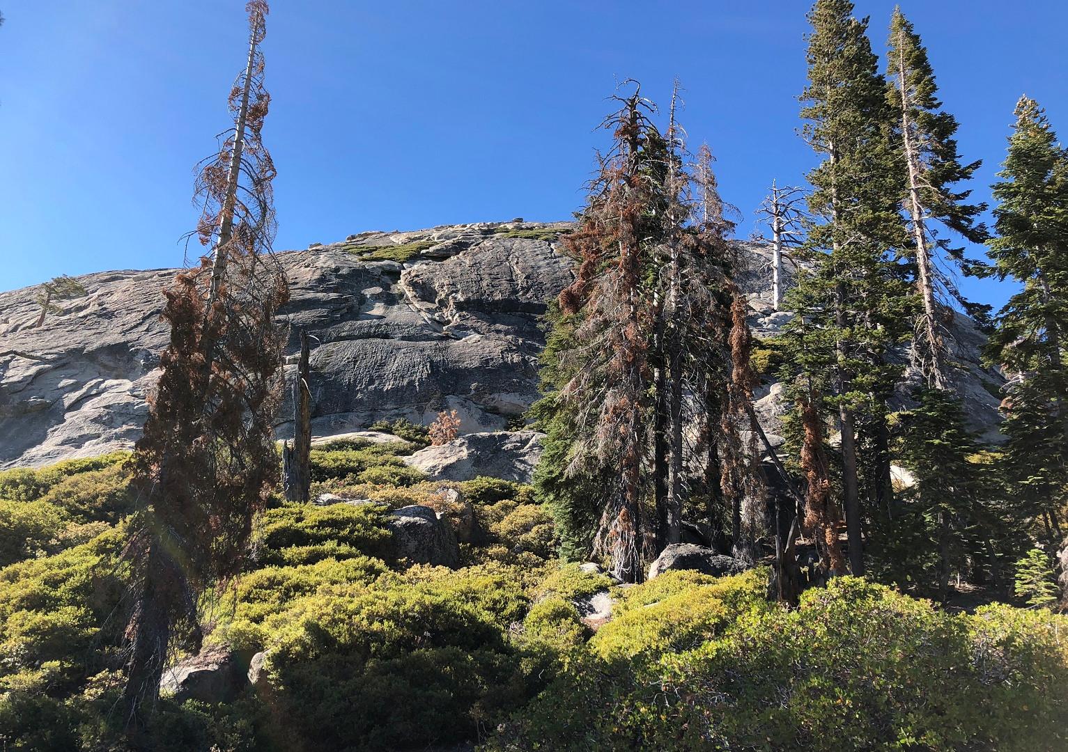 IMG_9102 Yosemite drought tree.jpg