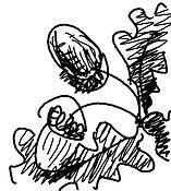 acorn sketch.jpg