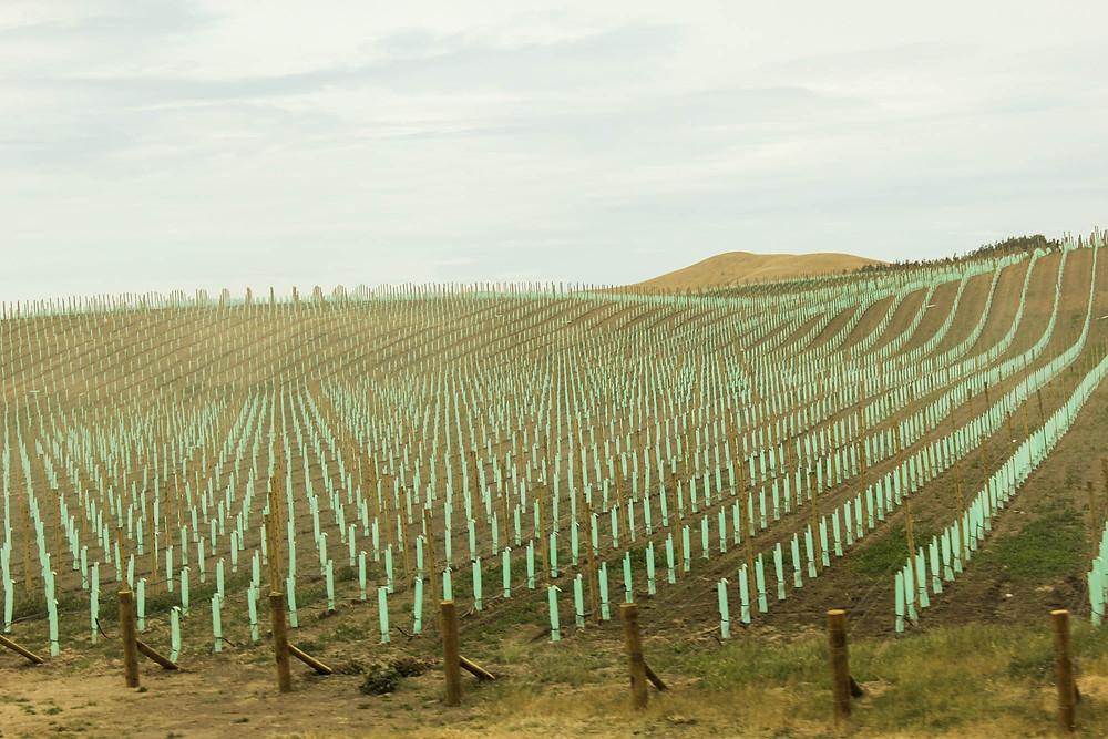 Vinranker in spe, Marlborough.