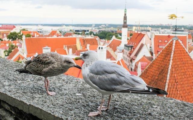 Makelige måker lever av turisme i Tallin.