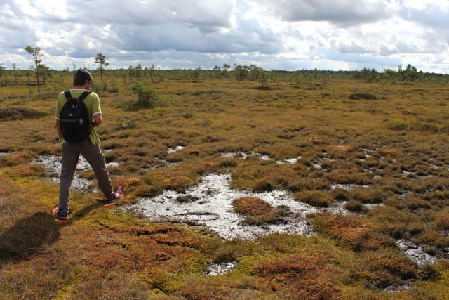 Vår guide Algis Martsoo fra Wilderness Experience in Estonia viser vei i myra.