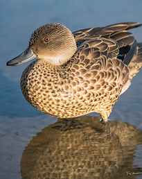 boshack-outback_lake-serene_-duck-by-day