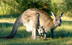 See Kangaroos with Day Tour Perth