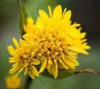 kentucky-state-flower.jpg