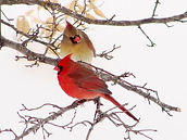 Virginia_pairnortherncardinals.jpg