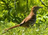 brownthrasherGeorgiaBird.jpg