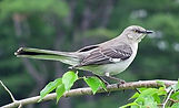 TN_Northern Mockingbird.jpg