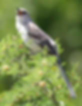 Texas_mockingbird_detwiler_web.jpg