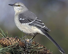 Florida state bird_mockingbird.jpg
