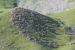 Les troupeaux d'Ancelle