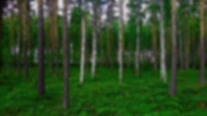 BirchandFir.jpg
