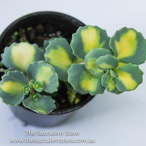 Hylotalephium sieboldii f. variegatum