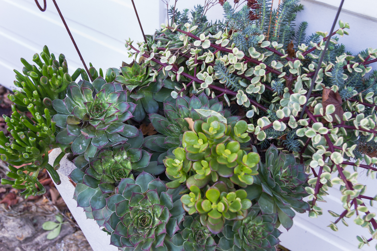 Succulents_Mixed-134