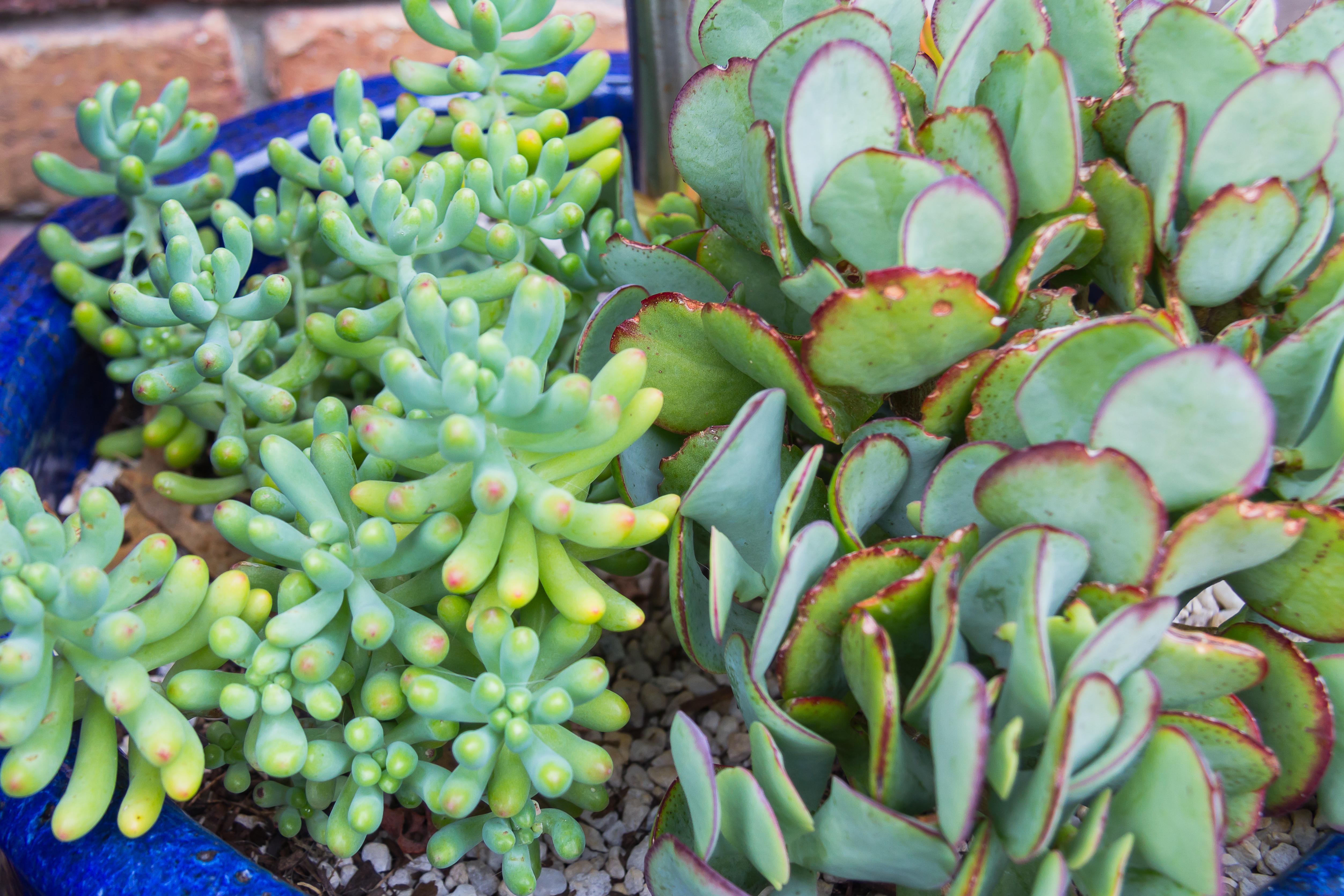 Succulents K-114